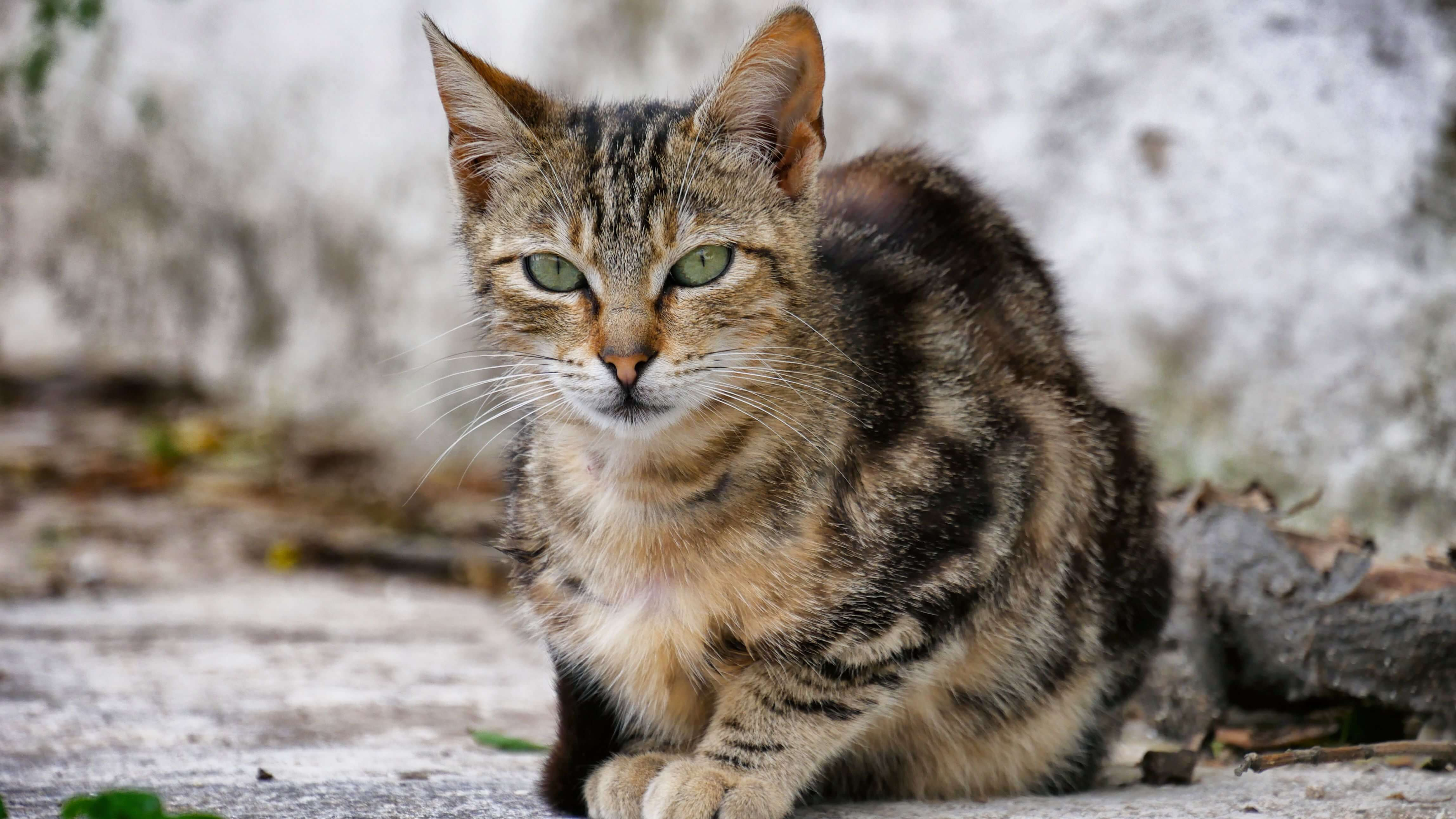 Les chats d'Ano-Mera, Mykonos, Grèce