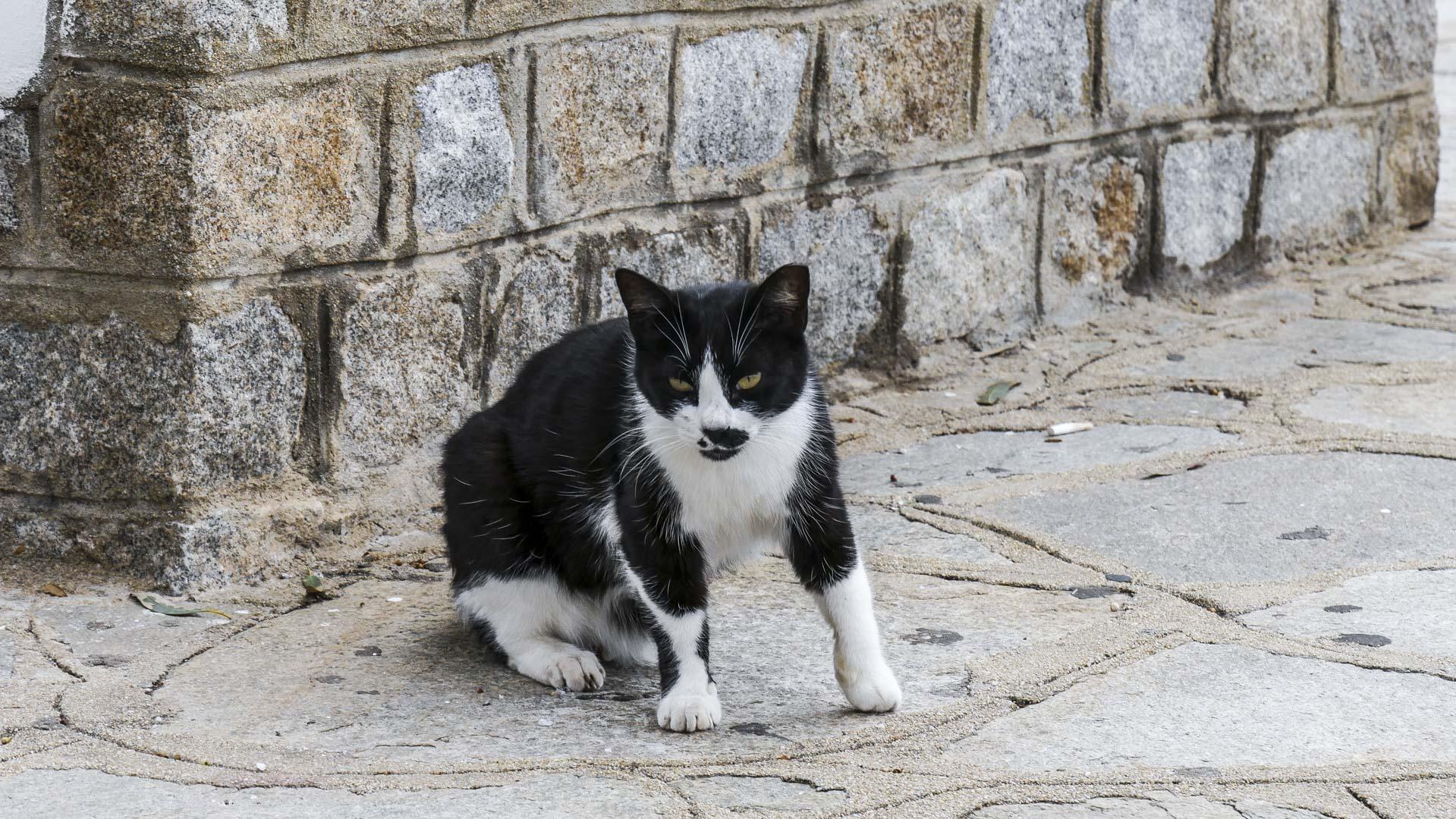 Chat des rues de Mykonos