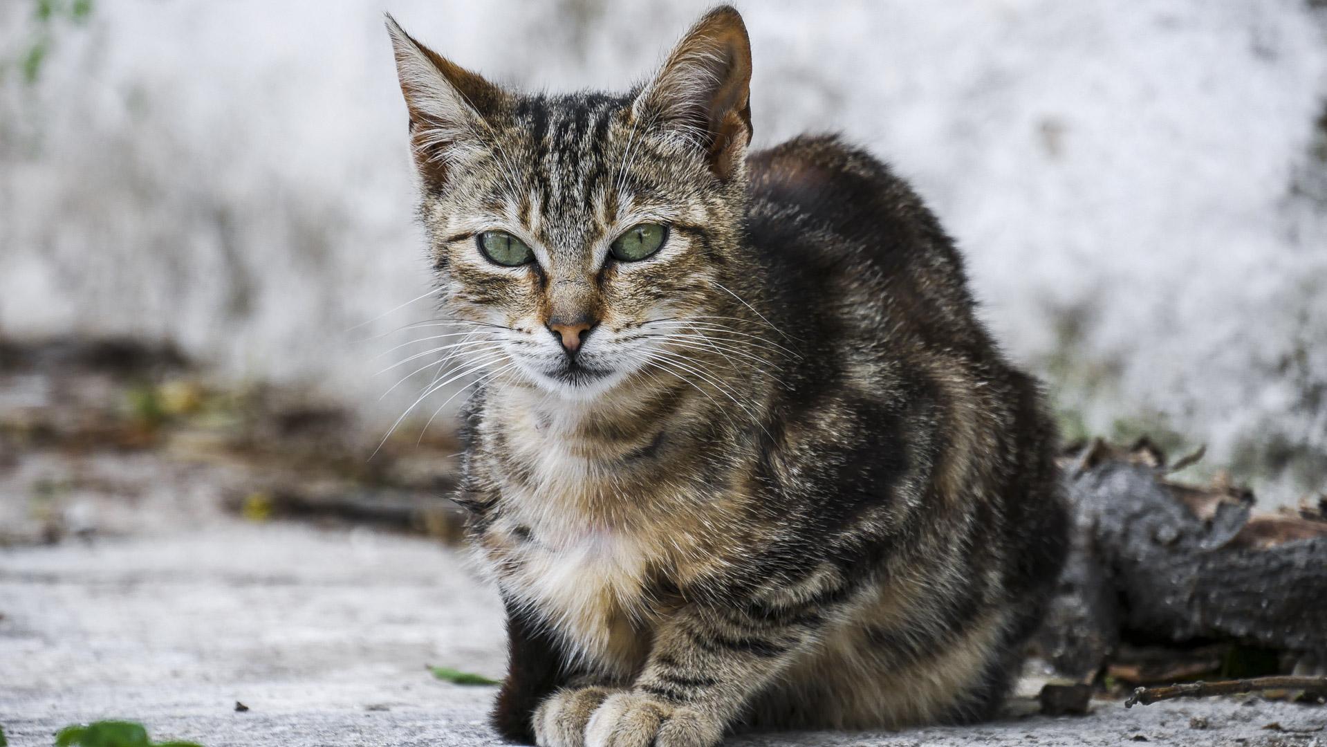Chat tigré à Mykonos